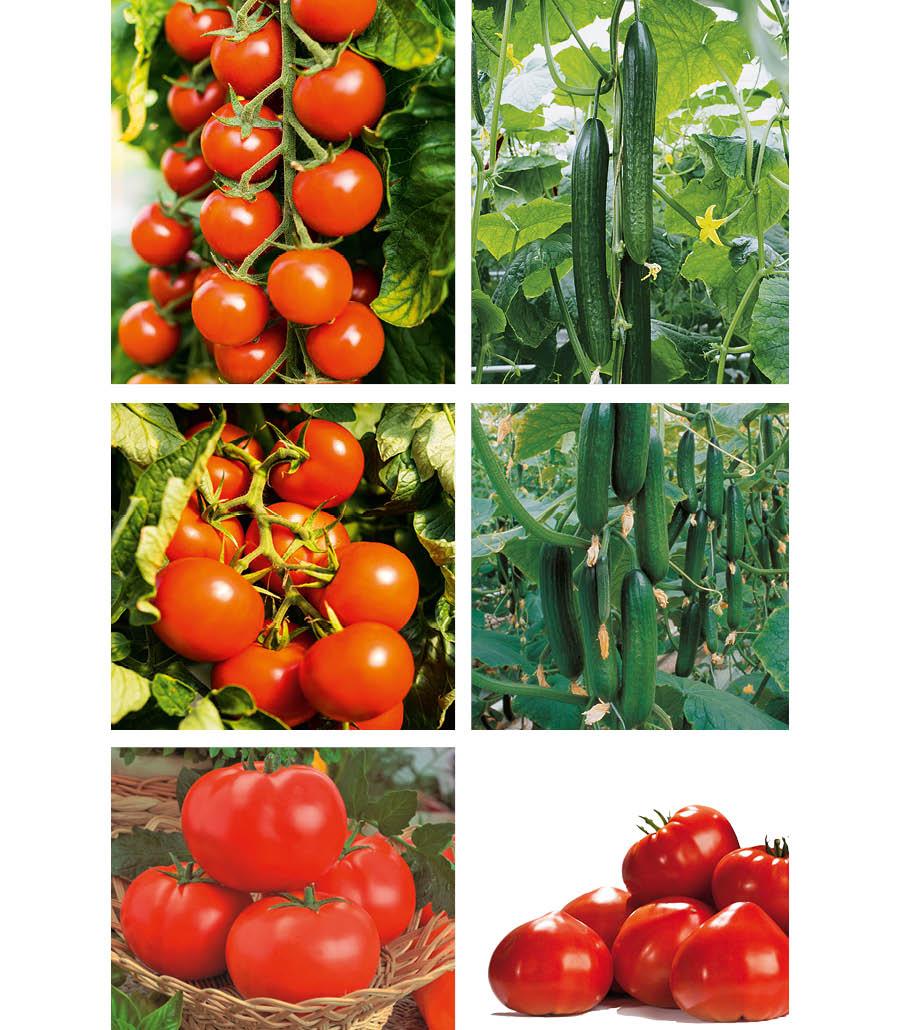 Veredeltes Gemüse Tomate